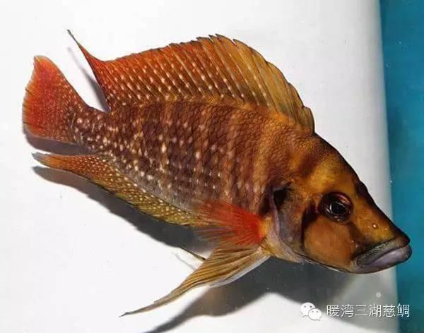 坦湖珍珠虎的挑选、养殖、繁殖