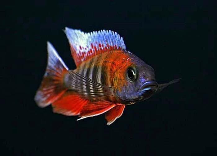 三湖慈鲷激素鱼的辨识方法以及危害