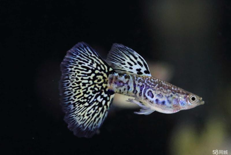孔雀鱼常见几种病及中西治疗方法