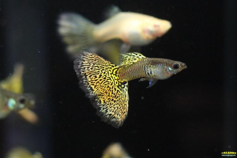 几种胎生小鱼,轻易体验繁殖的乐趣!