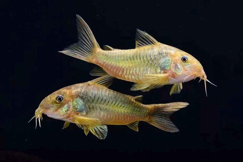鼠鱼的繁殖及小鱼的饲养