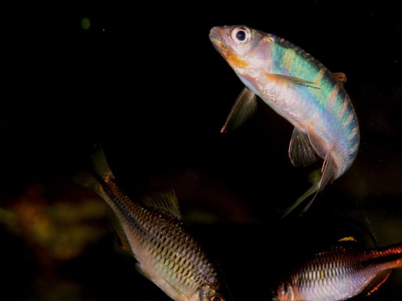 几种不推荐新手养的中国原生鱼