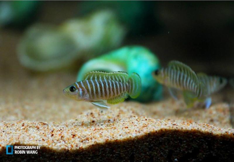 斑马贝的繁殖技巧