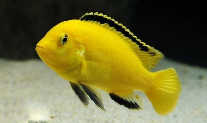 非洲王子鱼的繁殖方法