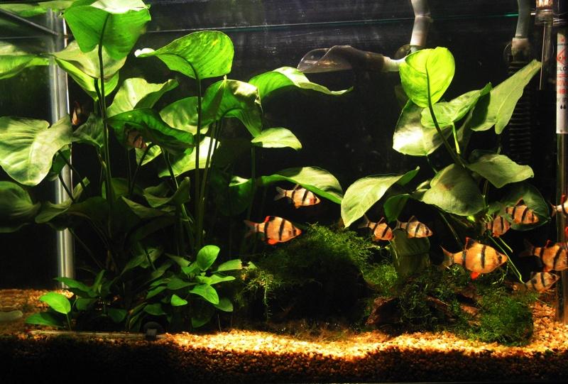 虎皮鱼能活多久、怎么分公母、能和什么鱼混养?