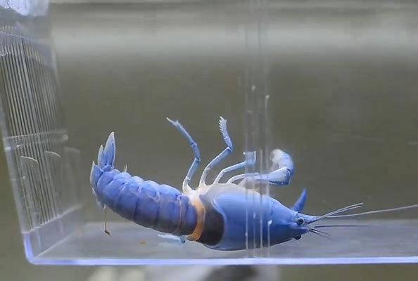"""蓝色龙虾""""狂抽搐"""",下一秒""""变身"""""""