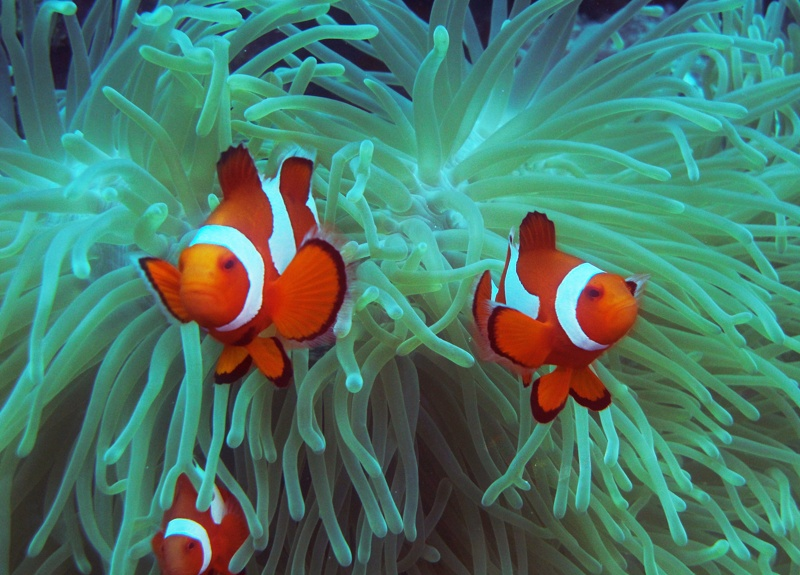 小丑鱼饲养和繁殖的全过程